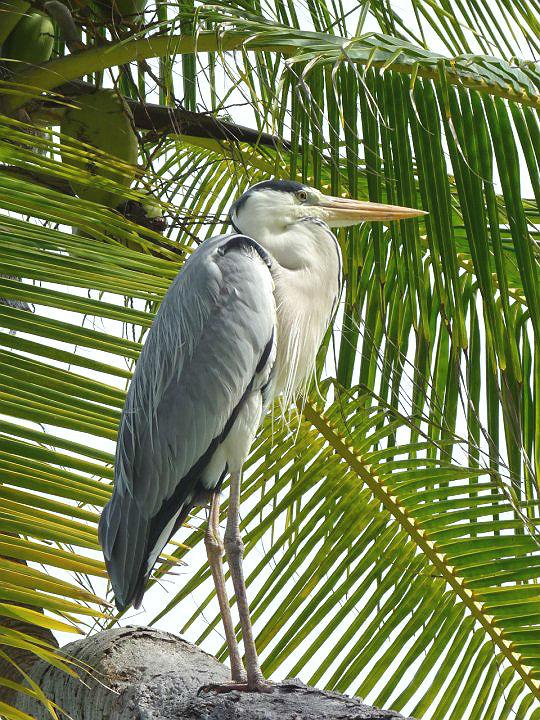 This Grey Heron was the most distinguished-looking bird in the Maldives, which is a great place for watching seabirds such as noddies, terns and shearwaters. This bird would stand in stately silence, eye on the water. Occasionally, it would stab the surface, pick out a wrasse or some such fish, and then go back to its monk-like attitude.