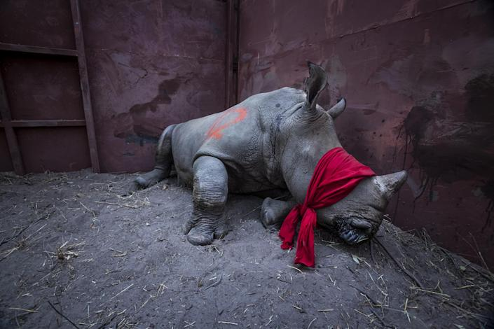 <p>Waiting for freedom: A young southern white rhinoceros, drugged and blindfolded, is about to be released into the wild in Okavango Delta, Botswana, after its relocation from South Africa for protection from poachers, Sept. 21, 2017<br>Southern white rhinos are classified as '€˜near threatened.' Rhinoceros horn is highly prized, especially in Vietnam and China, for its perceived medicinal properties, and in places is used as a recreational drug. Horns can fetch between €20,000 and €50,000 per kilogram. Poaching in South Africa rose from 13 rhinos a year in 2007 to a peak of 1,215 in 2014, and although these figures have declined slightly since then, losses are still unsustainable. Botswana is saving rhinos from poaching hotspots in South Africa and re-establishing populations in its own wildlife sanctuaries. (Photo: Neil Aldridge) </p>