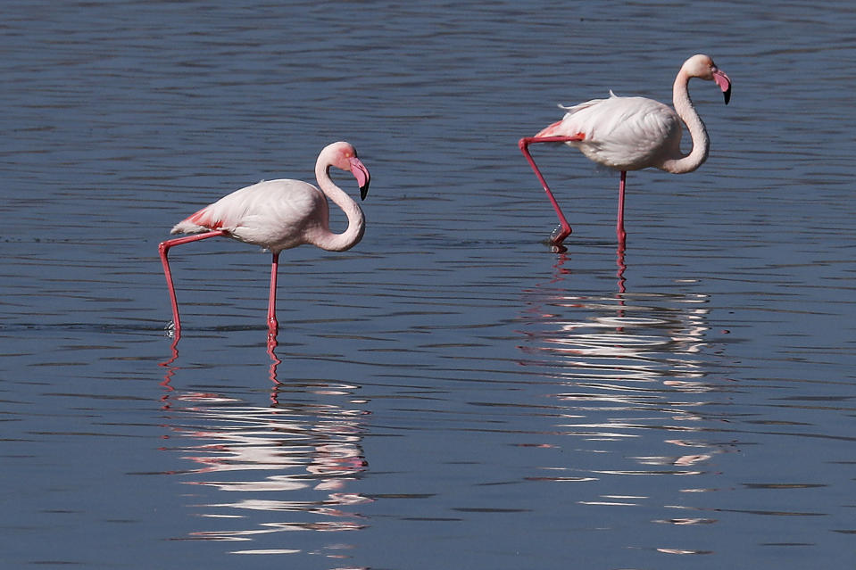 Flamingos walk at a salt lake in the southern coastal city of Larnaca, in the eastern Mediterranean island of Cyprus, Sunday, Jan. 31, 2021. Conservationists in Cyprus are urging authorities to expand a hunting ban throughout a coastal salt lake network amid concerns that migrating flamingos could potentially swallow lethal quantities of lead shotgun pellets. (AP Photo/Petros Karadjias)