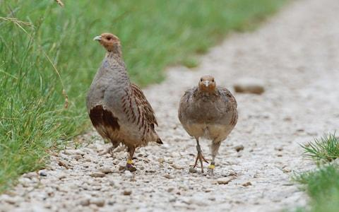 Numbers of grey partridge have also declined - Credit: Game & Wildlife Conservation Trust/PA