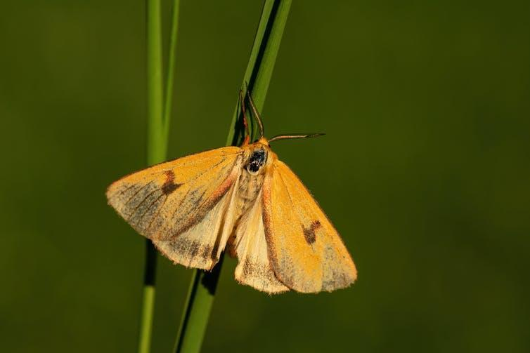 A clouded buff moth on a blade of grass