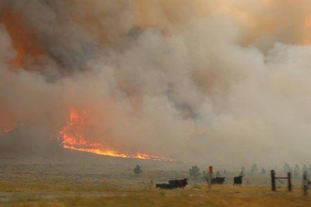 Cattle are seen near the flames of the Lodgepole Complex fire in Garfield County