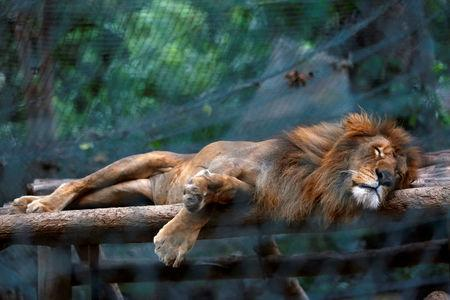 A lion sleeps inside a cage at the Caricuao Zoo in Caracas, Venezuela July 12, 2016.  REUTERS/Carlos Jasso