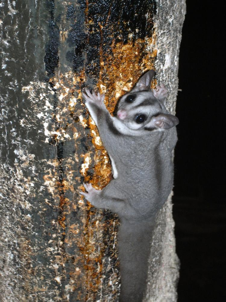A sugar glider at Crater Lakes national park in Queensland's Atherton tablelands
