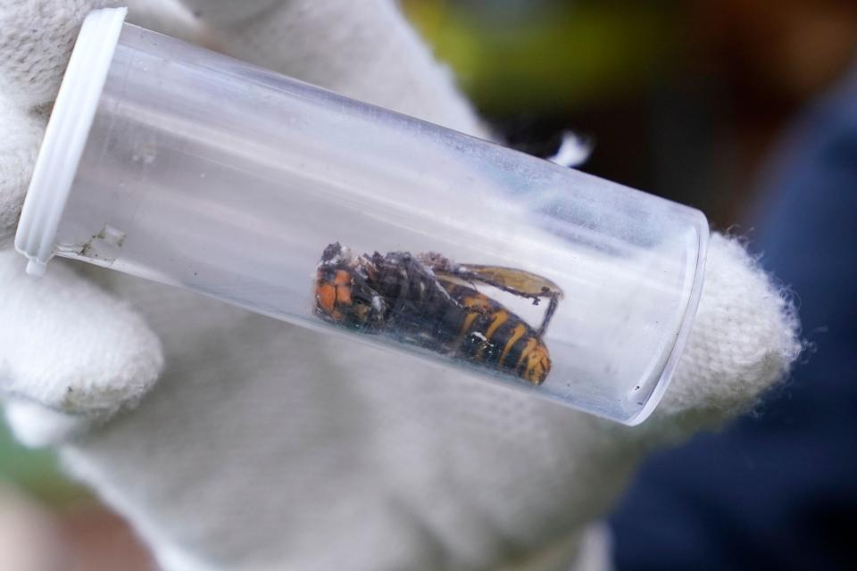 A Washington State Department of Agriculture worker displays an Asian giant hornet taken from a nest on October 24, 2020, in Blaine, Washington. - Scientists in Washington state discovered the first nest earlier in the week of so-called murder hornets in the United States and worked to wipe it out Saturday morning to protect native honeybees. Workers with the state Agriculture Department spent weeks searching, trapping and using dental floss to tie tracking devices to Asian giant hornets, which can deliver painful stings to people and spit venom but are the biggest threat to honeybees that farmers depend on to pollinate crops. (Photo by Elaine Thompson / POOL / AFP) (Photo by ELAINE THOMPSON/POOL/AFP via Getty Images)