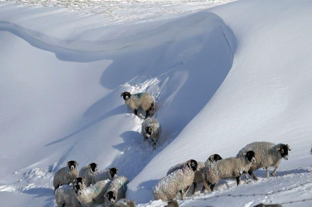 Sheep on snow drifts in Teesdale in the Durham Dales