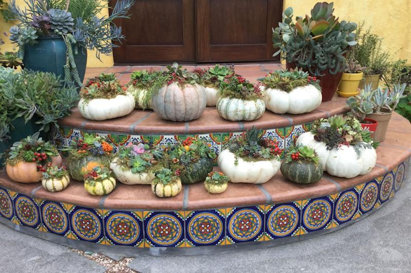 <em>Palo Alto homeowner Kathy Coutre throws a succulent-topped pumpkin decorating party every year. Here are this year's creations, ready for doorsteps, mantles, and tabletops. (Photo by Kathy Coutre)</em>