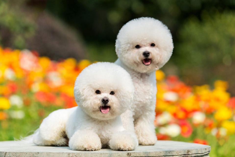 """<p>Named by <a href=""""https://www.dailypaws.com/dogs-puppies/dog-breeds/bichon-frise"""" rel=""""nofollow noopener"""" target=""""_blank"""" data-ylk=""""slk:Daily Paws"""" class=""""link rapid-noclick-resp"""">Daily Paws</a> as a """"happy-go-lucky breed,"""" bichon frises are a good option for families with children because of their mild temperament. They're also great for those of us not looking to spend hours vacuuming hair from our floors because a bichon's hair gets caught in his undercoat. Regular brushing or grooming will keep shedding at a minimum.</p>"""