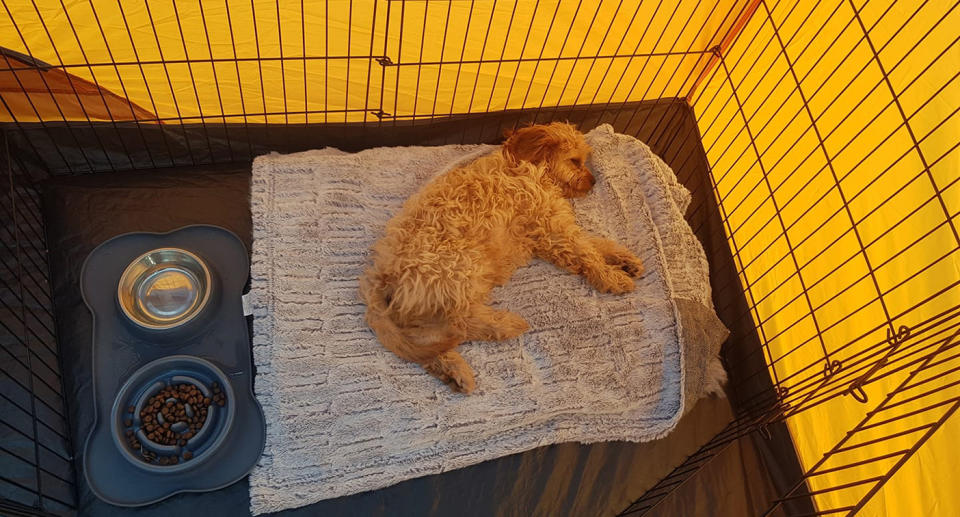 A photo of Bryn the dog, a four-month-old Cavoo lying down asleep in his cage.
