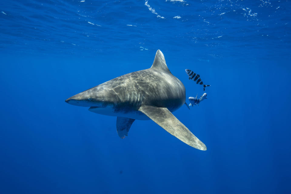 National Geographic's highly-anticipated, ninth annual SHARKFEST returns this summer. (Andy Mann/National Geographic)