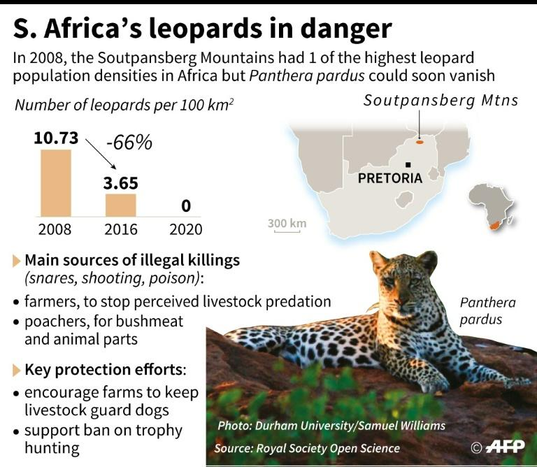 Graphic illustrating the decline of the leopard in South Africa and efforts to save the animal as well as protecting farmers