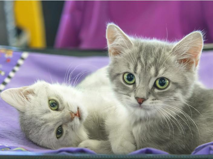 Before your cat is an adult, there are a few vaccinations they should have.
