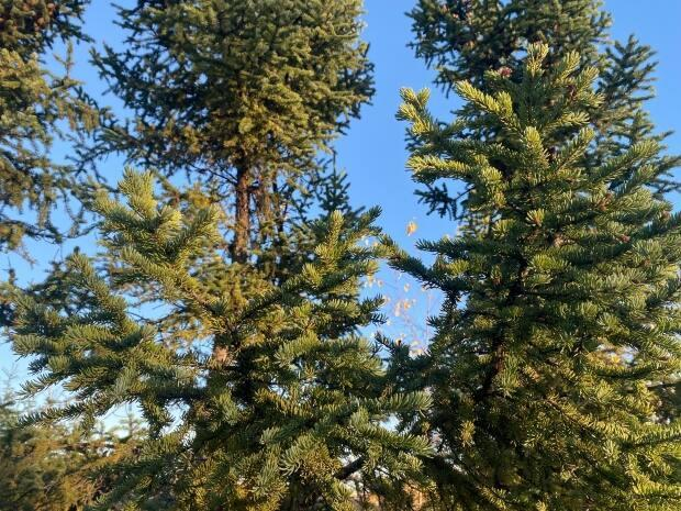 Spruce boughs, as well as traditional foods, were distributed to elders and people who are isolating in Behchokǫ̀ and Whatı̀. (Avery Zingel/CBC - image credit)