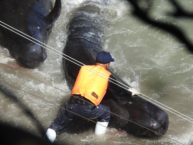 Japanese hunters herd a pod of more than 50 whales on Monday near Taiji, Japan. Source: DolphinProject.com