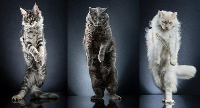 Alexis Reynaud captures these amazing and hilarious pictures of cats standing on their hind legs. (Photo: Alexis Reynaud/Caters News)