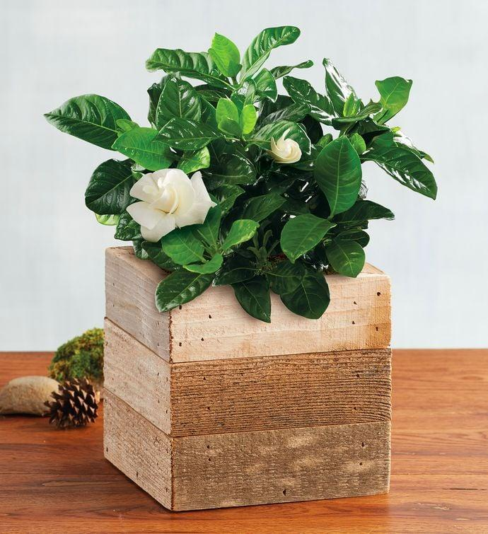 <p><span>Gardenias</span> ($50) are the perfect houseplant for more reasons than one with an aroma like no other. They're easy to care for, and their bright green leaves offer a natural pop to any space in the house.</p>