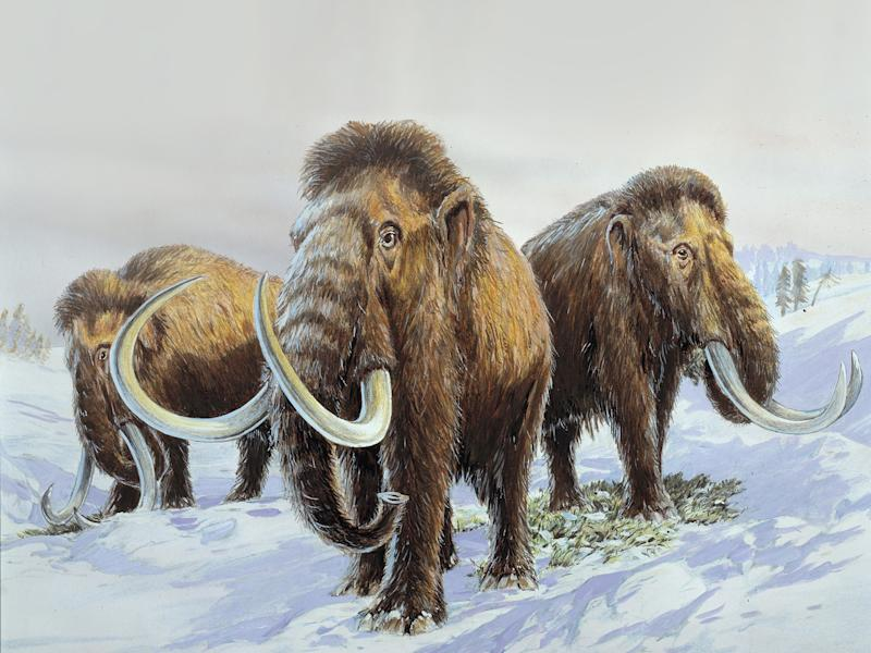Wooly Mammoth's lived during the last Ice Age, feeding on tundra vegetation: Natural History Museum