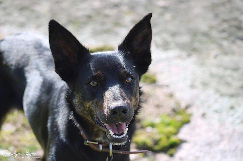 Pictured is Ezra the black kelpie was stabbed to death at her regional Victoria home.