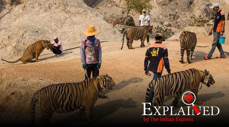 thailand tigers dead, tiger temple thailand, tiger temple controversy, Thailand temple tigers, Thailand government, world news