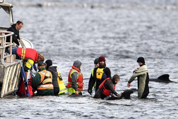 PHOTO: Teams work to rescue hundreds of pilot whales that are stranded on a sand bar in Macquarie Harbour on Sept. 23, 2020 in Strahan, Australia. (Steve Bell/Getty Images)