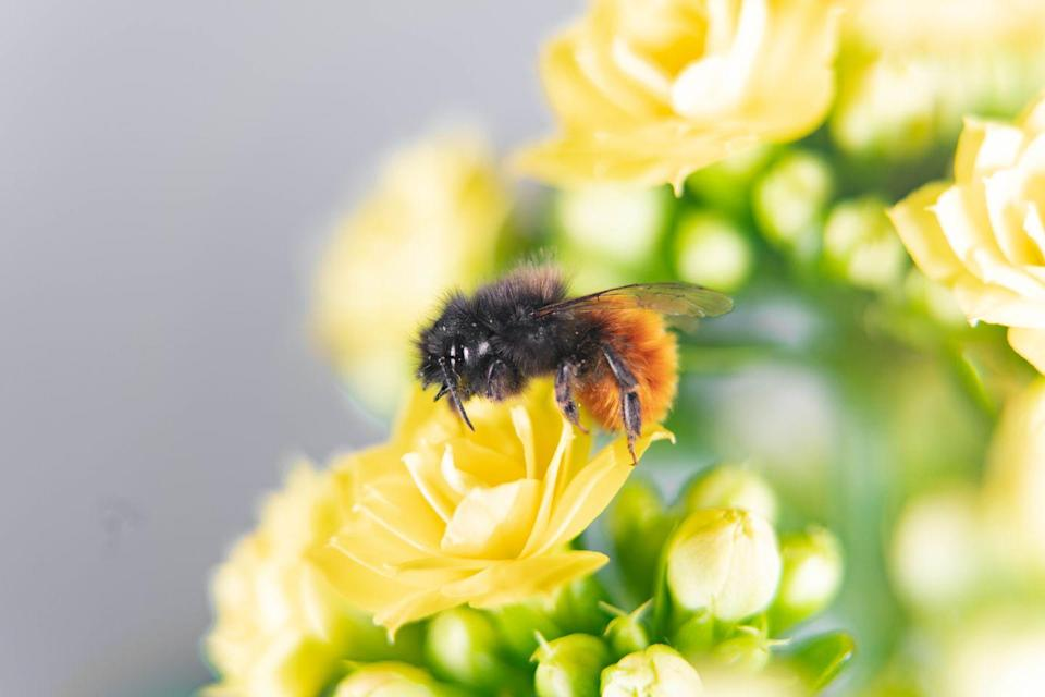 <p><strong>Rusty Patched Bumble Bee - </strong>By now we should know why bees are important to agriculture and why agriculture is important to us. This buzzy little fellow's numbers have decreased by 87% recently. </p>