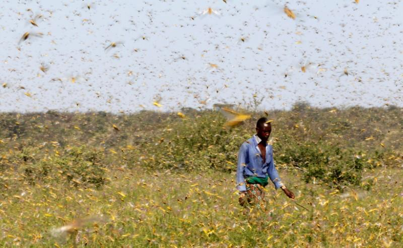 Locust plague devastates crops in Horn of Africa