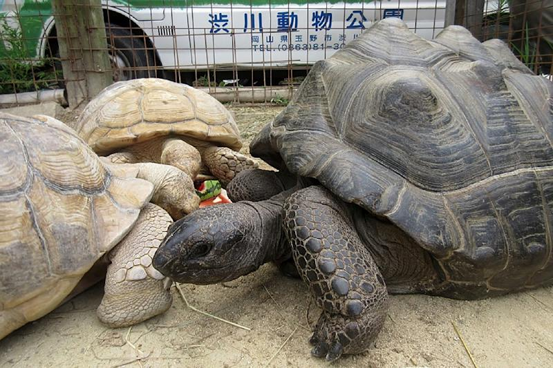 A giant female tortoise named Abuh who made a break from a Japanese zoo has been found safe and sound two weeks after she escaped -- just 140 metres from the park (AFP Photo/Handout)