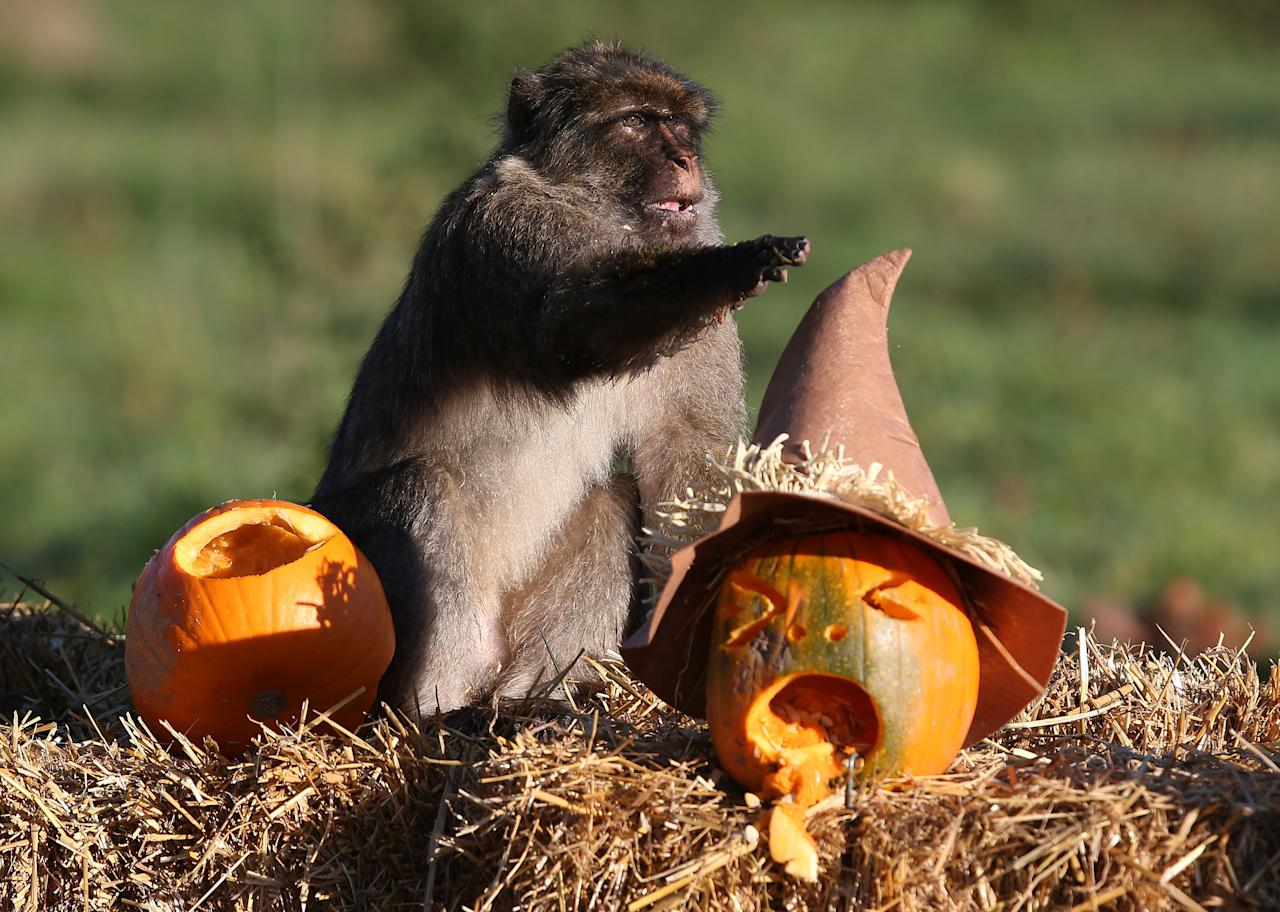<p>Macaque monkeys are given pumpkins ahead of the Halloween festivities this weekend at Blair Drummond Safari park, Scotland on Oct. 27, 2017. (Photo: Andrew Milligan/PA Wire via ZUMA Press) </p>