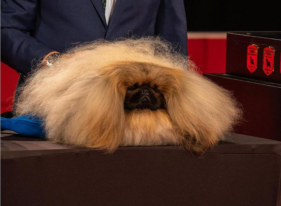 Wasabi the Pekingese | Nick King