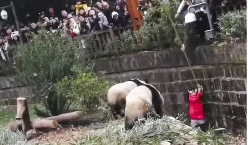 Chinese girl has close encounter with giant pandas after falling into their enclosure