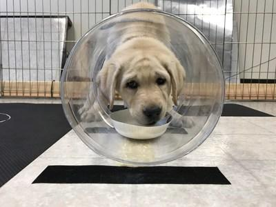 Canine Companions puppy participating in cognitive testing