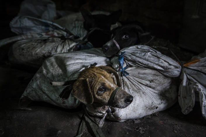 Dogs are bound in sacks before their slaughter at a dog meat butchery house in Yogyakarta, Indonesia. (Photo: Ulet Ifansasti/Getty Images)