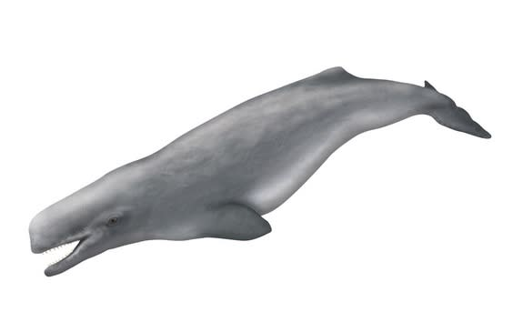 A sketch of <i>Aulophyseter morricei</i>, an ancient sperm whale thought to be a relative of the new species.