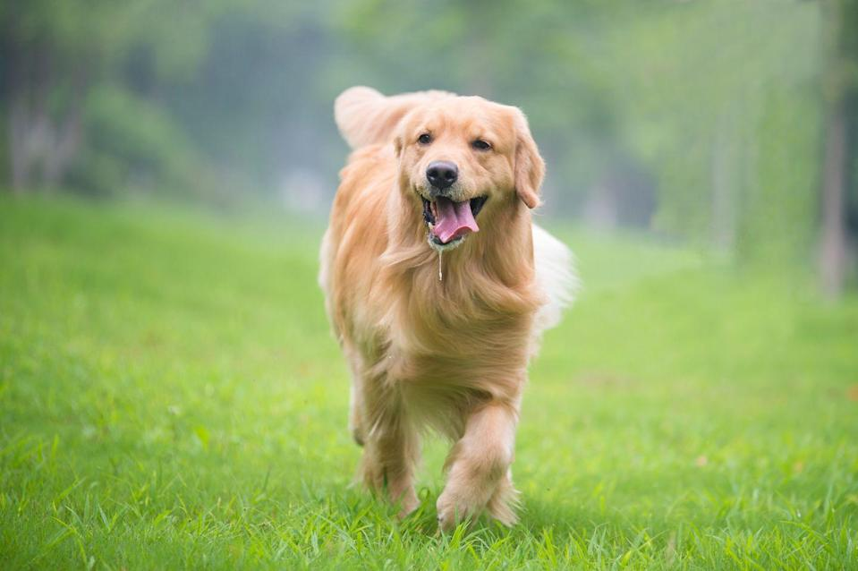 """<p>Yet another <a href=""""https://www.ufaw.org.uk/dogs/golden-retriever-hypothyroidism"""" rel=""""nofollow noopener"""" target=""""_blank"""" data-ylk=""""slk:dog with a predisposition to hypothyroidism"""" class=""""link rapid-noclick-resp"""">dog with a predisposition to hypothyroidism</a>, Golden Retrievers are major food lovers with tons of energy who don't always get all the activity they require. According to the 2012 study conducted by Pet Obesity Prevention, <a href=""""https://petobesityprevention.org/2007-2013"""" rel=""""nofollow noopener"""" target=""""_blank"""" data-ylk=""""slk:more than 60% of Retrievers surveyed were considered obese"""" class=""""link rapid-noclick-resp"""">more than 60% of Retrievers surveyed were considered obese</a>. </p>"""