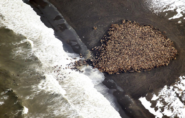 An estimated 35,000 walruses hauled out on a beach near Point Lay, Alaska, in 2014. Scientists say the walruses hauled out on the beach because of the lack of sufficient sea ice, which they would normally use. (Handout . / Reuters)