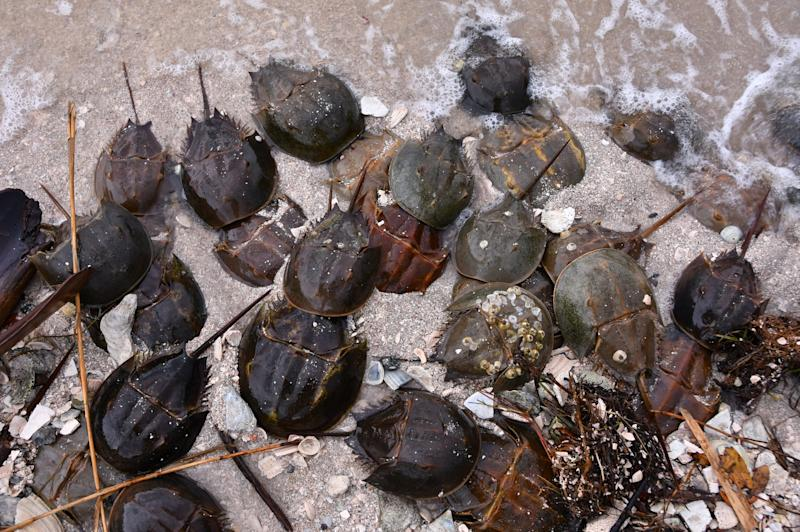 Horseshoe crabs, which mate year-round but more frequently in March and April, hook up in April 2019 on the south side of the Titusville Causeway east of the Max Brewer Bridge in Florida. Citizen scientists Laurilee Thompson and Bill Klein counted 5,000 crabs.