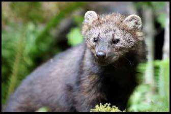 U.S. denies full protection for Pacific fisher, relative of the weasel