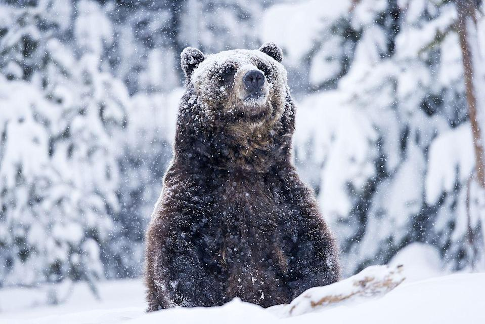 <p>While bears do hibernate throughout the winter, that doesn't mean they don't set foot outside at all. This grizzly bear was spotted after he potentially dunked his head under a pile of snow... or at least that's what it looks like. </p>