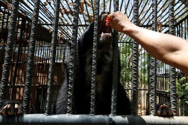An Andean bear stretch its claw inside a cage at the Paraguana zoo in Punto Fijo. Source: Reuters