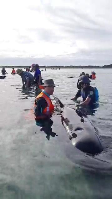 Social media video grab shows volunteers helping to re-float stranded whales at Farewell Spit