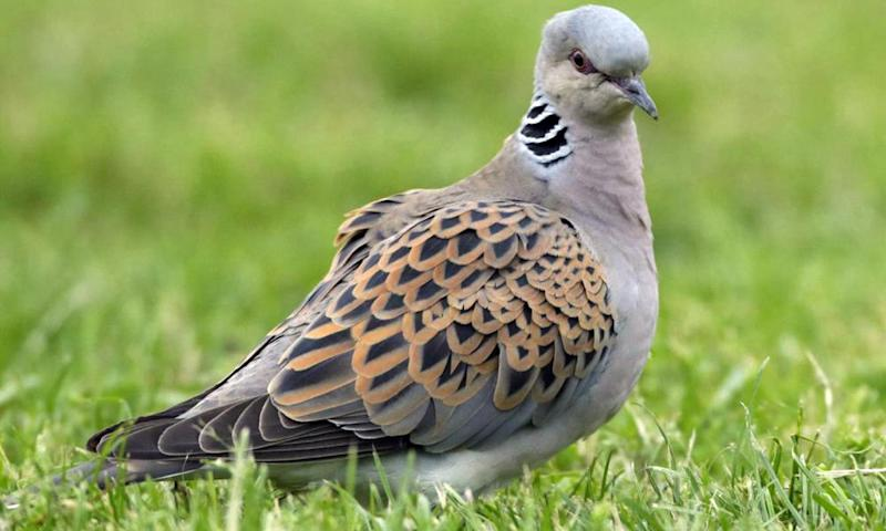 The turtle dove is endangered in Britain