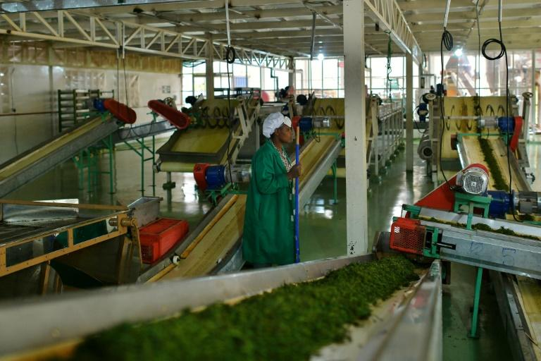 A factory worker keeps an eye as freshly rolled tea leaves are delivered for fermentation at a plant in Nyeri, Kenya in September 2019