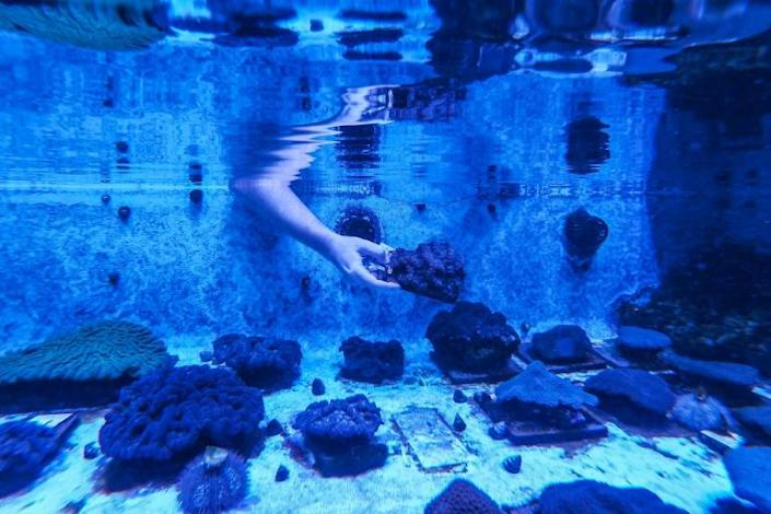 A staff member works on restoring Florida's coral reef, which is suffering from stony coral tissue loss disease, at the Florida Coral Rescue Center in Orlando on September 20, 2021 (AFP/CHANDAN KHANNA)