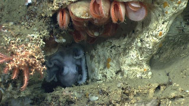 <p><span>An octopus (genus Graneledone) uses a crevice along a wall in Lydonia Canyon for shelter, surrounded by a garden of corals, deep sea mussels and a diversity of other species. (Photo: NOAA Okeanos Explorer Program, 2013 Northeast U.S. Canyons Expedition Science Team)</span> </p>