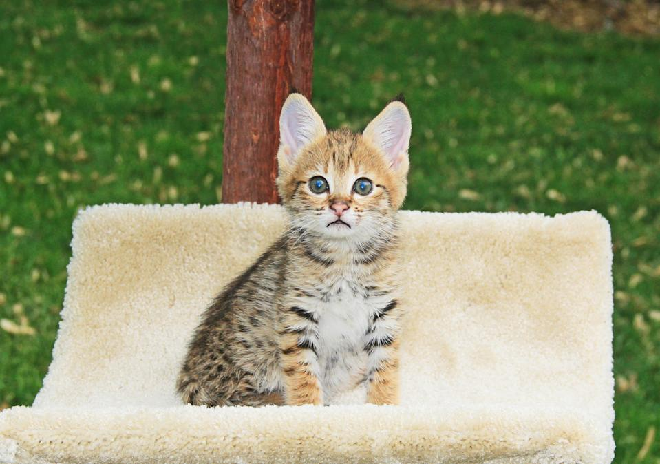Cute F2 spotted and striped golden domestic young Serval Savannah kitten.