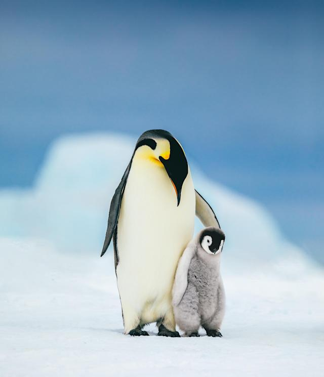 An Emperor penguin chick cuddles up to its parent looking for its next meal.