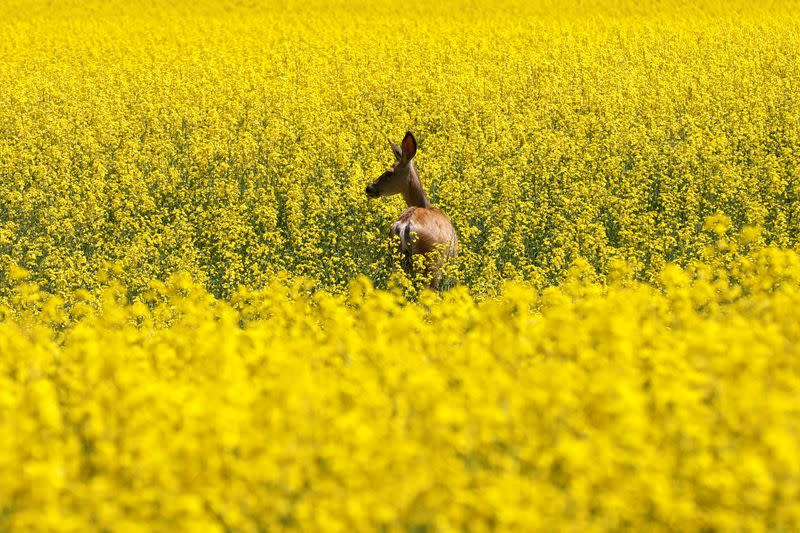 China yet to resume all canola imports from Canada: foreign ministry