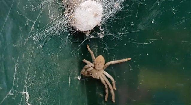 Hortense the Huntsman and her egg sac. Source: YouTube