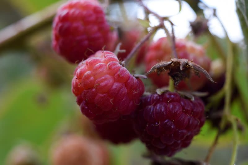 Raspberries are pictured during a harvest season at a local farm near Chillan