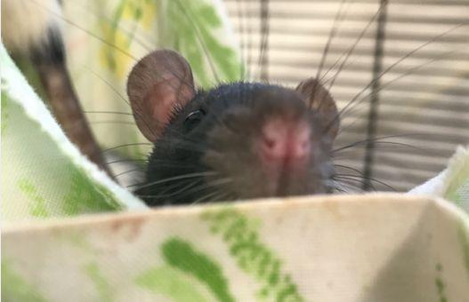A rat now in the care of San Diego Humane Society. (Photo: San Diego Humane Society)